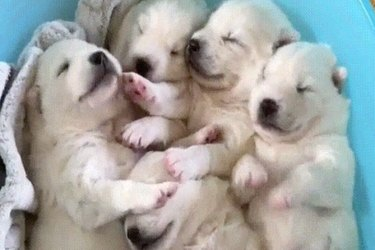 Nothing Is Better Than These Five Puppies Snuggling In A Bucket