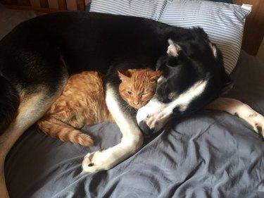 Dog snuggling cat