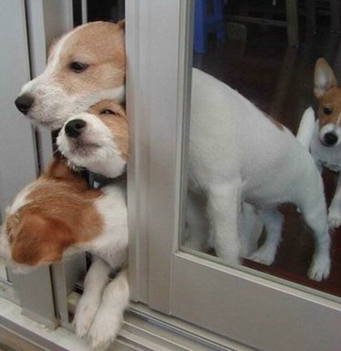 Three puppies trying to squeeze through sliding glass door.
