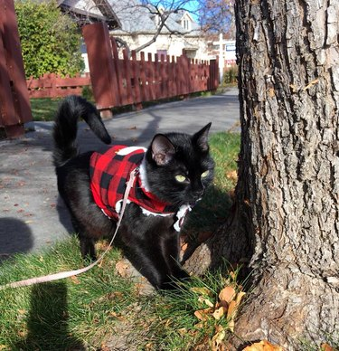 Cat in a plaid vest wearing a leash