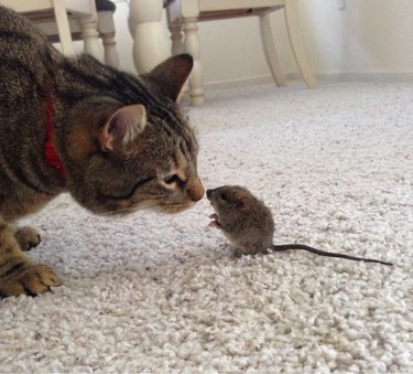 Cat making friends with rodent