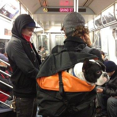 Dog in backpack.