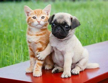 Cat and Pug