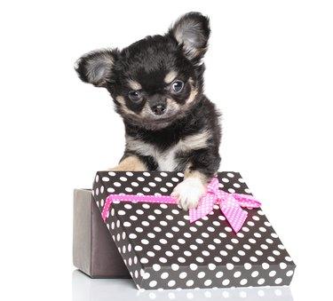 puppy in polka dot box