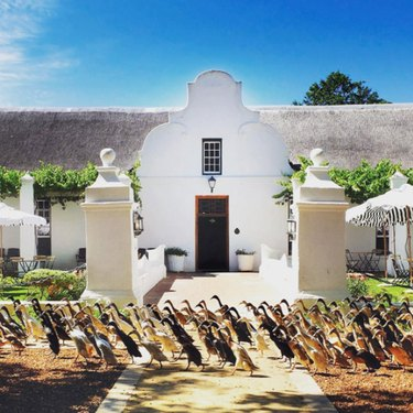 Ducks march through South African winery