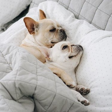 Two French Bulldogs cozy in bed