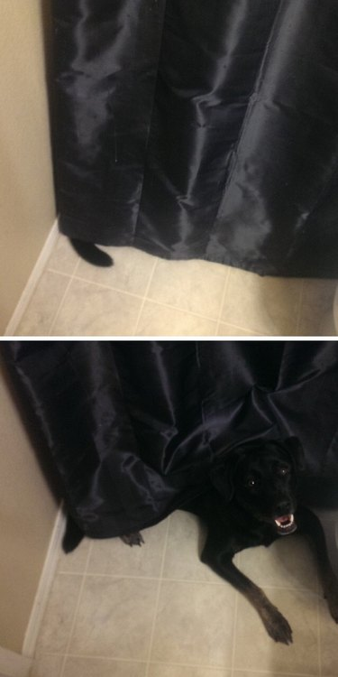 Black dog's tail poking out from behind black shower curtain.