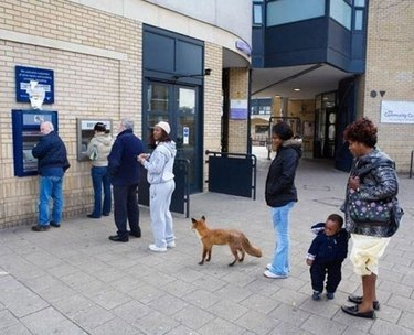 Fox at British ATM