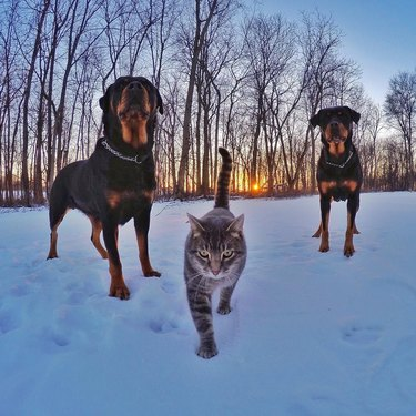 cat with two dogs