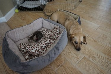 Kitten taking over dog's comfy bed