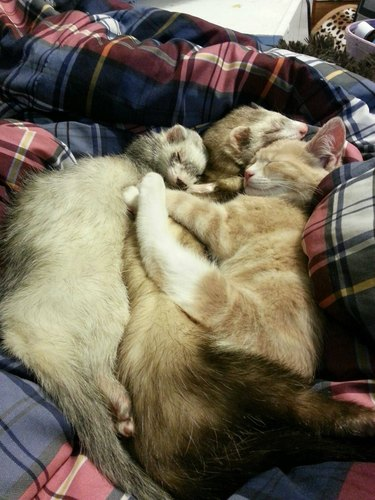 Two ferrets and a cat sleeping in a pile.