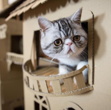 Cat named Prince Peachblossom ignores 4-story, 8-room cardboard palace