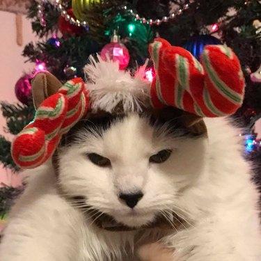 Cat wearing antlers begrudgingly