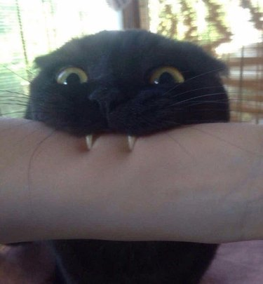 Cat biting arm