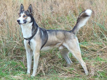 Husky/Greyhound