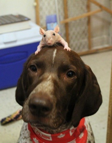 Dog with rat on its head