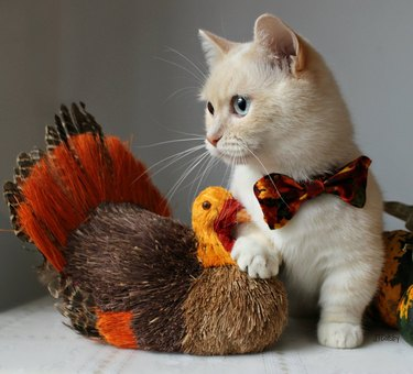 Cat with a turkey decoration and matching bow