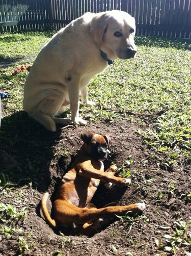 Dog sits next to puppy in a hole.