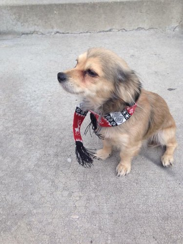 Small dog wearing a tiny Christmas scarf
