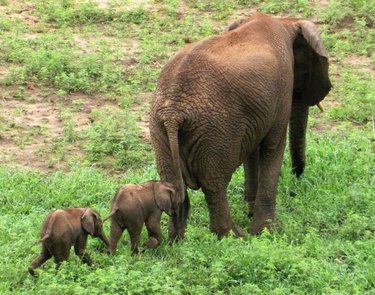 Adult elephant with two babies following.