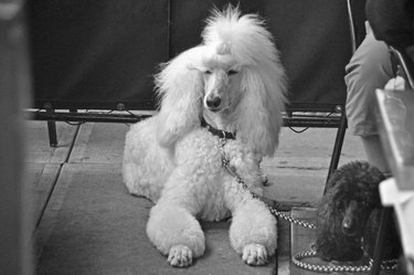 A black Poodle and a white Poodle on a restaurant patio in New York City