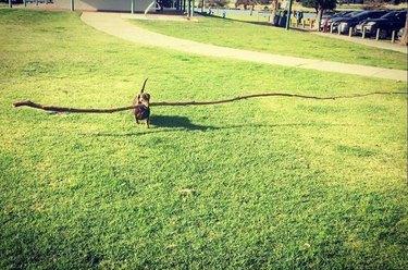 15 dogs with big sticks