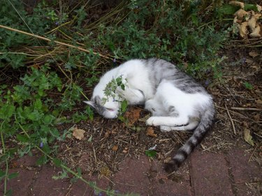 Catnip overload