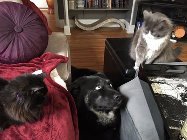 Dog standing between two cats looks concerned.
