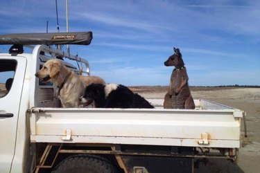 Kangaroo riding in back of pickup truck with two dogs.