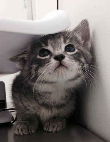 Kitten hiding under scale