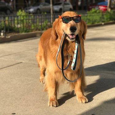 Dog wearing sunglasses and holding his own leash.