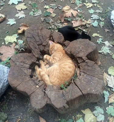 Cat curled up in tree stump hole.
