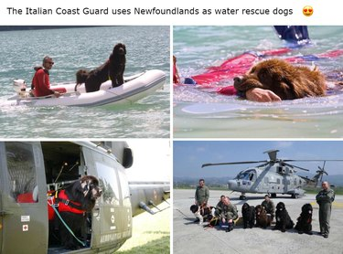 Newfoundlands working as water rescue dogs with Italian Coast Guard.