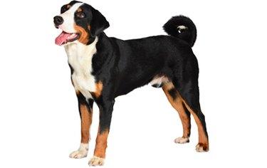 Appenzeller Sennenhund Dog Breed Facts & Information
