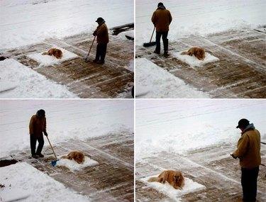 Photo set of man shoveling snow around dog that won't move.