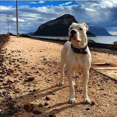 Strong white dog