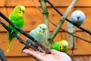 Four parakeets and a person's hand reaching for them