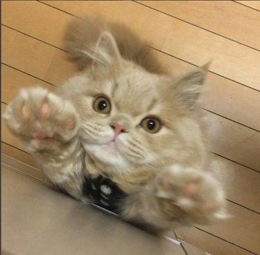 Bell on hind legs with her paws extended