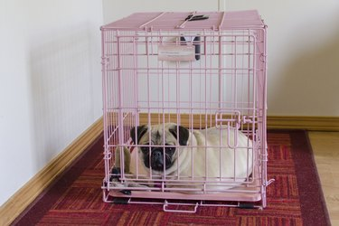 A pug in a pink crate