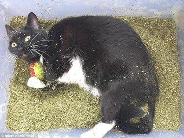 Cat in a tub of catnip