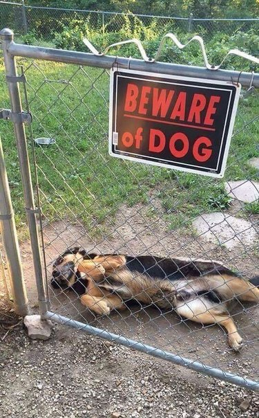Dog on its back next to Beware of Dog sign.