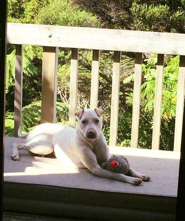 Greyhound/Shar Pei