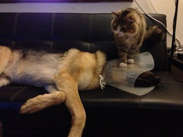 Cat standing on dog's cone