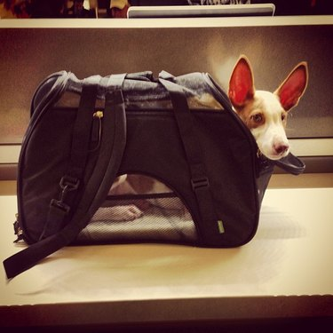 Dog in carrier.