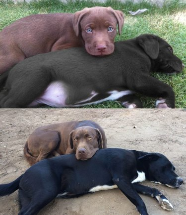 brown dog lying head on black dog's head, as a puppy and then as a big dog