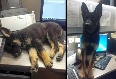 Side by side photos of dog sitting on desk as a puppy and dog as an adult.