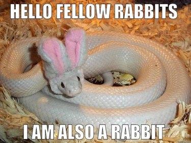 White snake wearing bunny ears.
