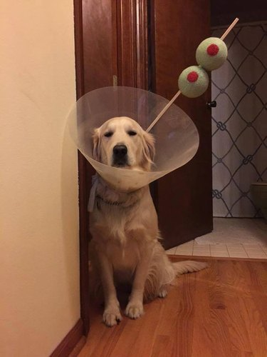 Dog wearing E-collar styled like a martini.