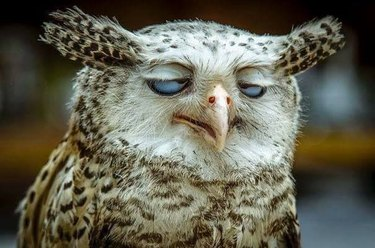 Owl with half shut eyes