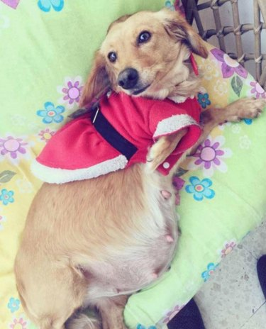 Pregnant Dachshund in Christmas clothes